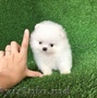 Gorgeous Teacup Pomeranian Puppies Available for sale